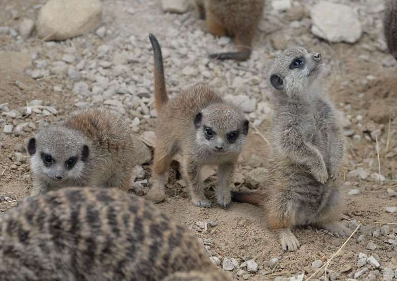 Baby meerkats at New College Stamford EMN-160923-121218001