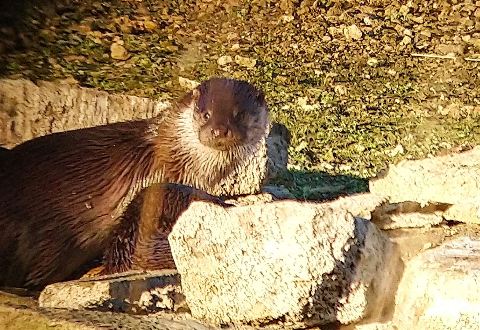 Wildlife joy as otters make stirring comeback at Rutland Water