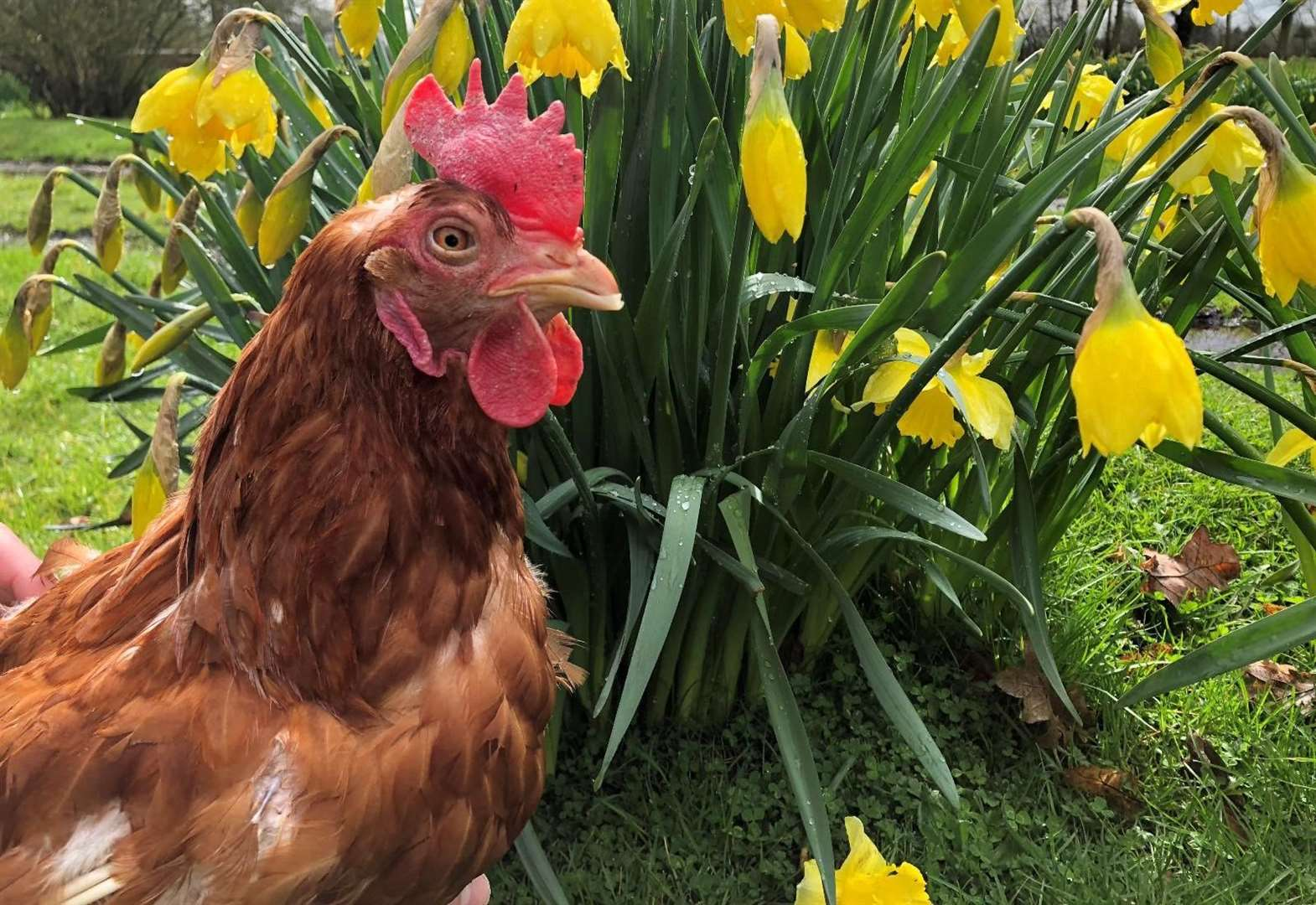 Hen re-homing day to take place in Stamford