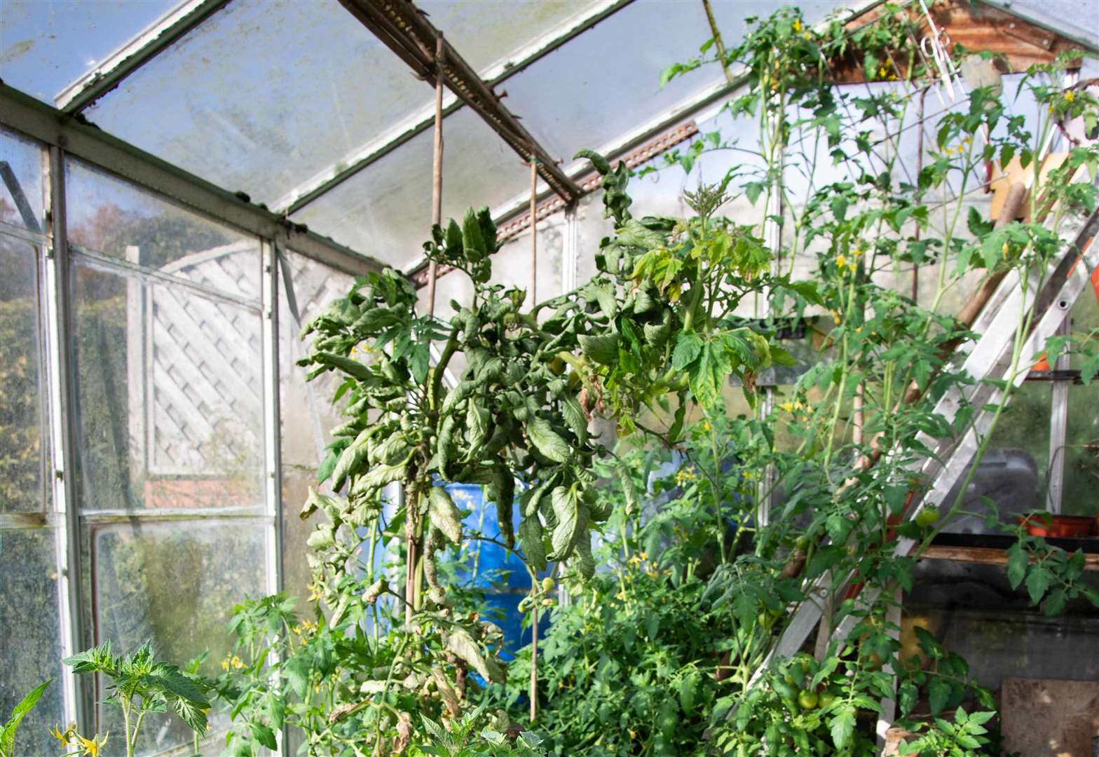 Frank's greenhouse full of tomatoes is a 'gardener's delight'