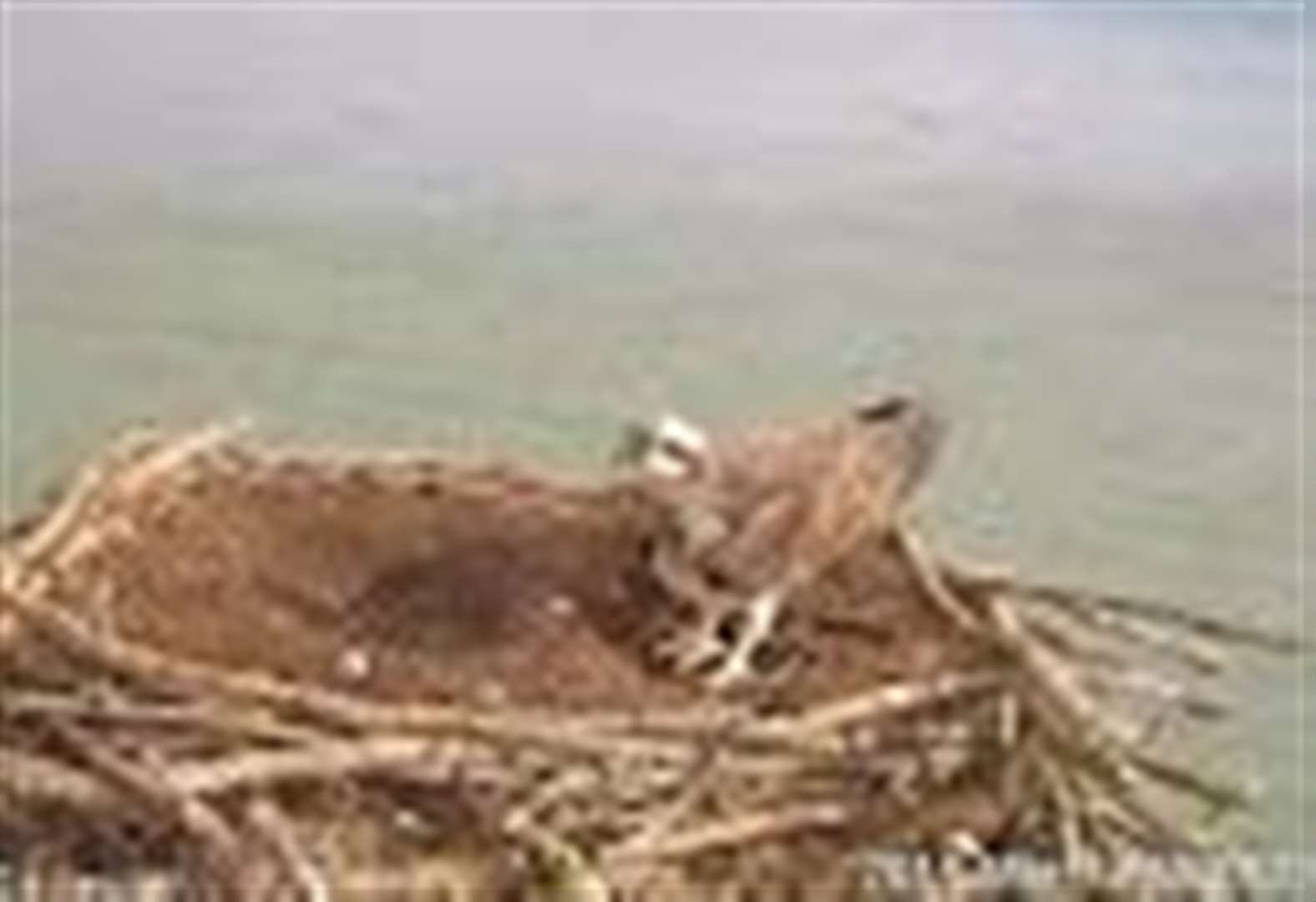 First of the Rutland Ospreys arrives back at Lyndon Nature Reserve