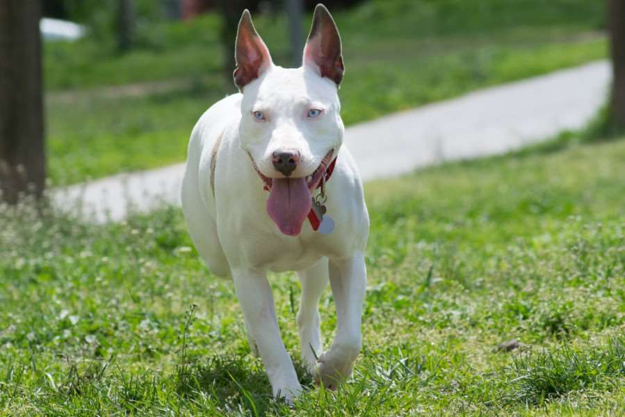 American Pitbull terriers are among the breeds banned under the 1991 Act. Credit: Shutterstock