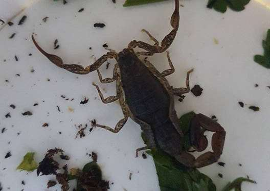 The rescued scorpion. Photo: The Exotic Pet Refuge 8uPQprJ2h52AAd5vs6lY