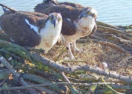 Osprey egg new