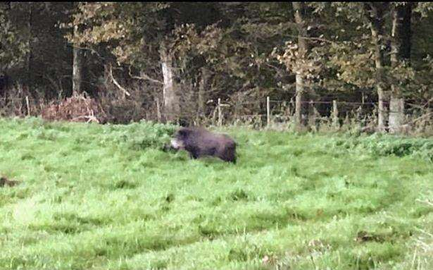 Wild boar spotted in Lyndon by Tom Stephenson (7609233)
