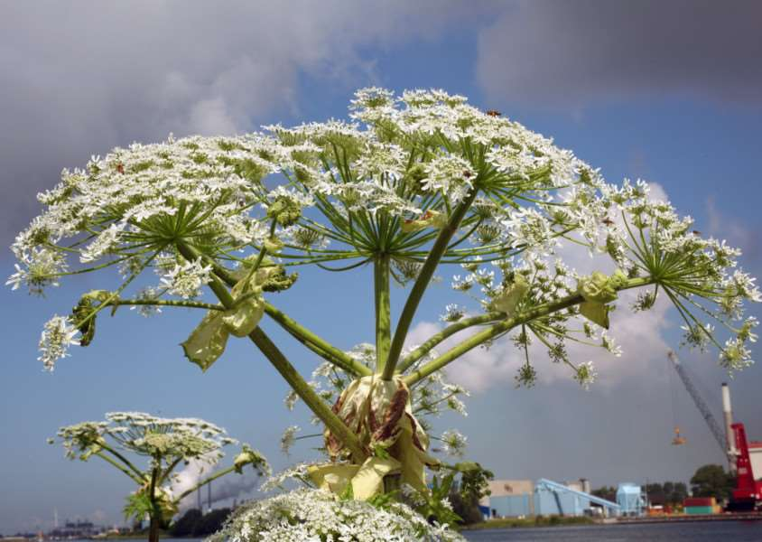 Giant Hogweed - Heracleum mantegazzianum. Photo: 'Free Photo: via flickr.com/photos/79818573