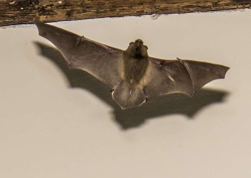 Bats at All Saints Church, in Braunston