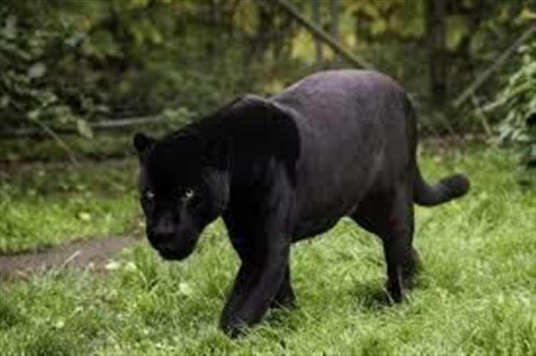 black puma attack