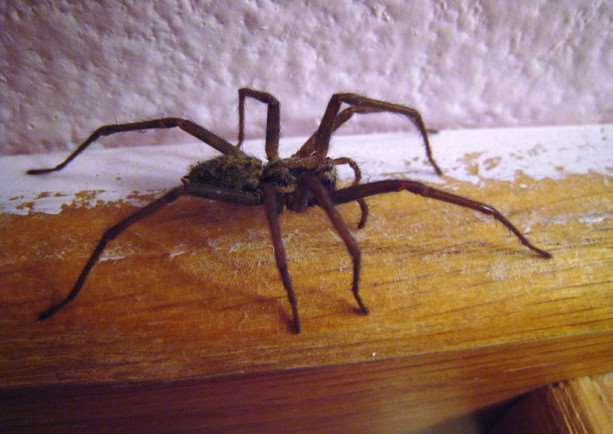 Not always a welcome guest: a house spider