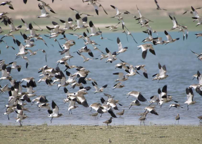 Lapwings are on the Red List and may face extinction