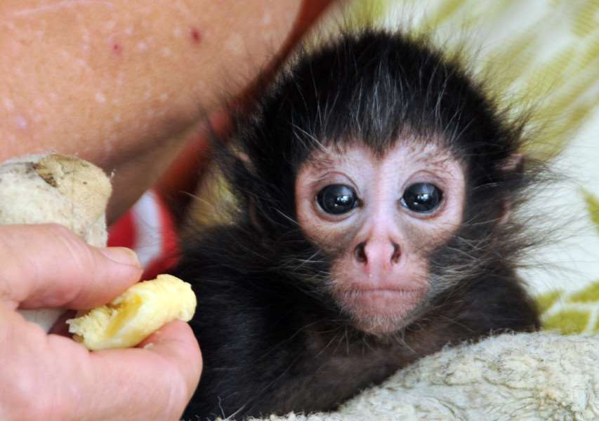 Stephie, the baby spider monkey, urgently needs help to get a new monkey house completed before the funding deadline. ANL-150707-175734001