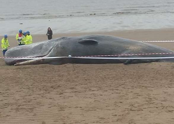 One of the sperm whales found washed up on the beach near Skegness over the weekend. Photo by Tina Raistrick of Skegness RNLI.