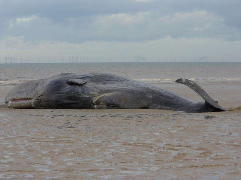 The sixth beached whale at Hunstanton last week - Maria Rix ANL-160502-153754001