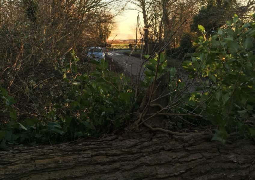 The tree which fell near Barrow on January 18 2018. Submitted.