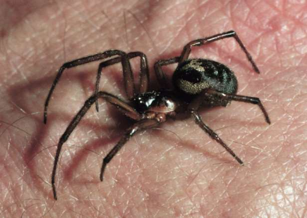False widow spider species found in the East of England