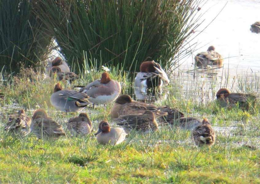 Wigeon at Willow Tree Fen Nature Reserve.