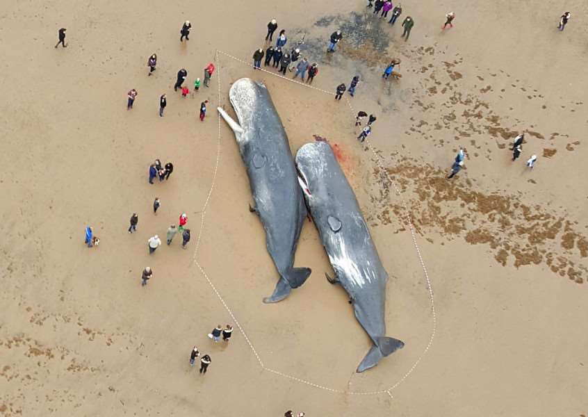 Crowds of onlookers stand outside a cordon to see two sperm whales found washed up on Gibraltar Point beach, near Skegness. Photo by Lee Swift.