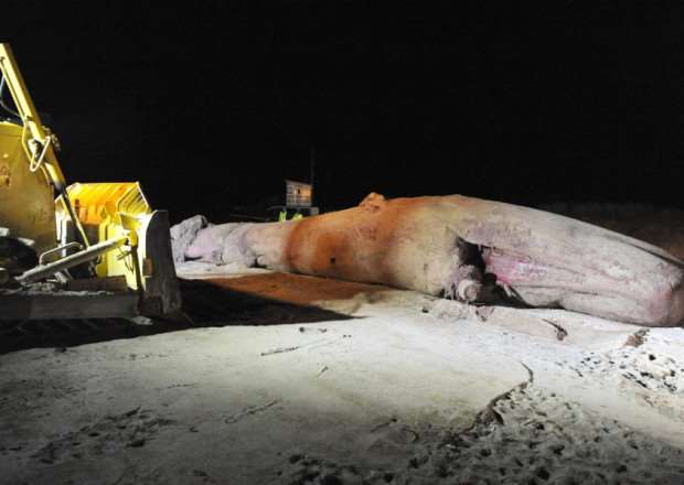 A whale being removed from Skegness beach. ANL-160202-151913001