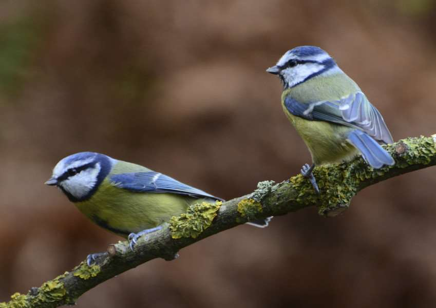 Blue tits. Photo: PA Photo/thinkstockphotos.