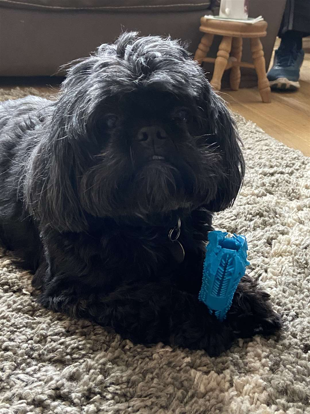 Rocky the shih tzu is a rescue dog