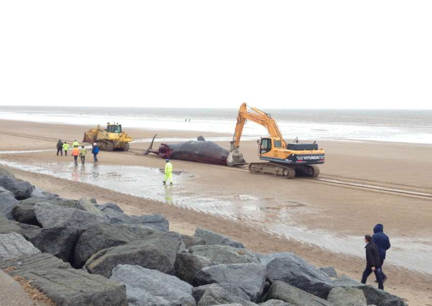 A whale being moved to central beach in Skegness. ANL-160126-154637001