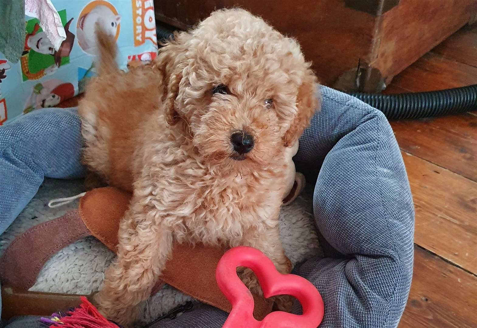 Cockapoo puppies like this one can cost about £2,500