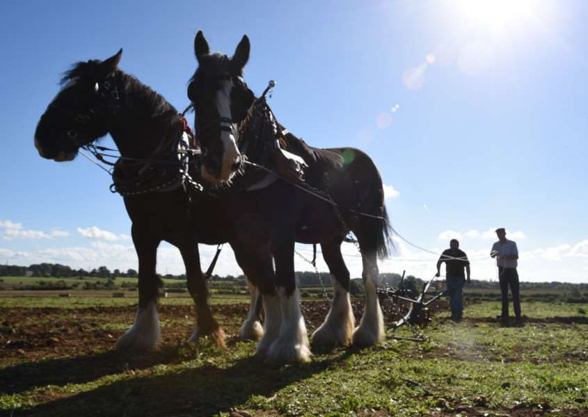 Harvest Festival at Sacrewell Farm. Pic of ploughing with shires EMN-150927-165513009