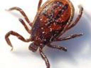 A tick which can carry the deadly disease