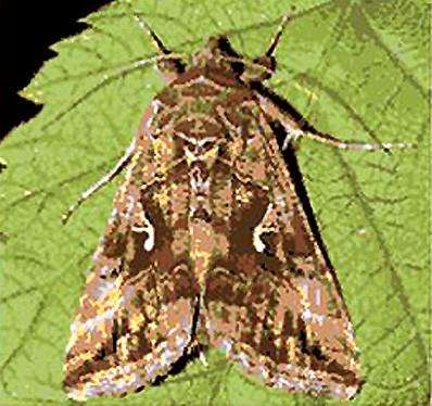 The Silver Y moth, like the one which landed on Cristiano Ronaldo's face 1