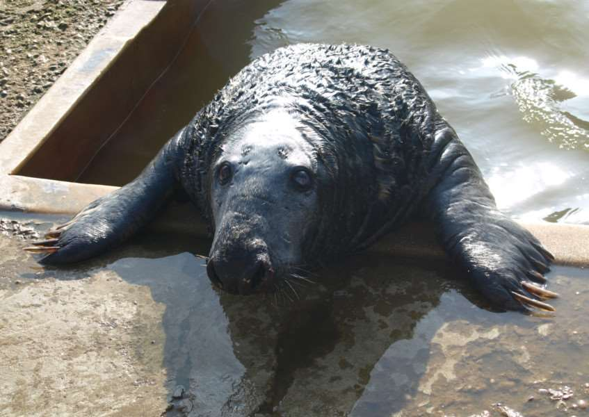 Help Mablethorpe Seal Sanctuary to raise �30,000 needed to build a bigger pool for blind seals Nooky (pictured) and Popeye.
