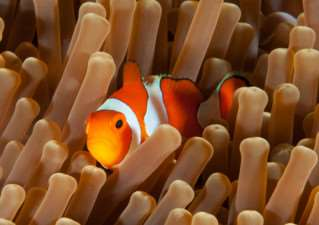 Clown anenome fish on Wakatobe reef by Barry Cade: an entry in the digital section