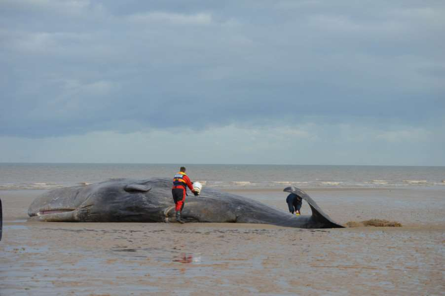 Second beached whale at Hunstanton. Photo: Elaine Bird MLNF16EB02203 ANL-160402-112436001