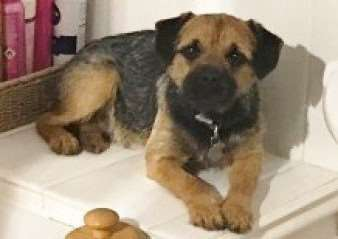 Scamp, border terrier who was lost in Bulby. Submitted