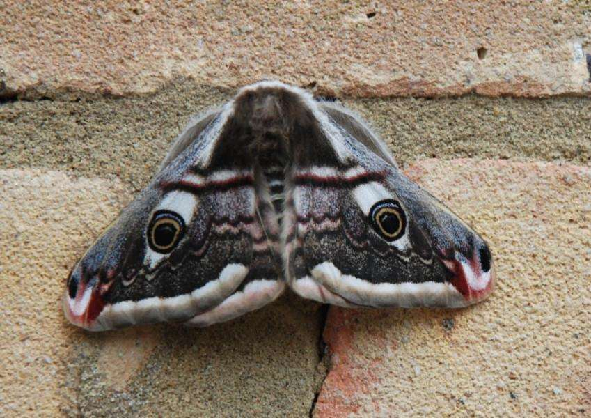 A strange-looking moth spotted by reader Ian Dair, from Carlby. EMN-150417-164338001