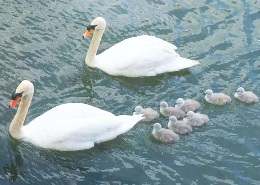 A family of swans in Stamford. Photo: Alan Romaine.