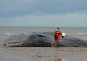 A second whale has beached alive in Hunstanton. ANL-160402-133451001