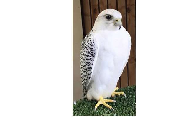 This large falcon is missing from its home in South Witham.