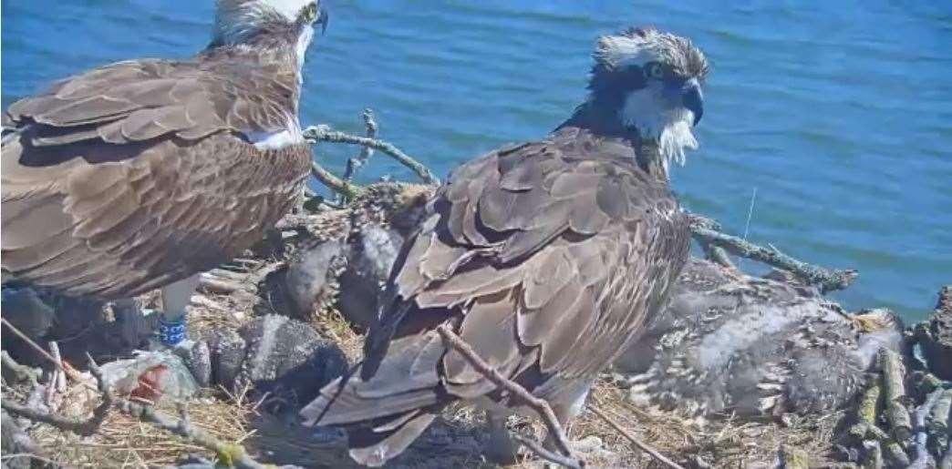Ospreys Maya, right, and her partner 33 (11) on the nest containing their chicks in 2020. Photo: Leicestershire and Rutland Wildlife Trust